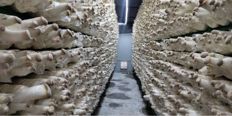 中国纪录 河南安阳:企业帮扶 杏鲍菇产业助力脱贫攻坚战